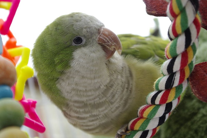 A monk parakeet with several toys