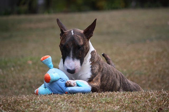 a bull terrier playing with one of the best kevlar dog toys
