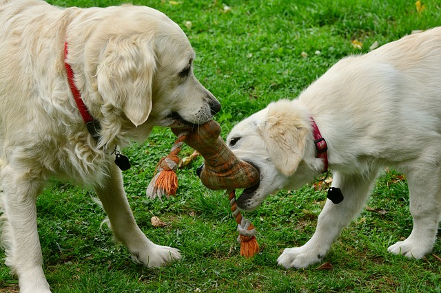 two golden retrievers playing tug o'war using a dog toy