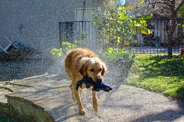a golden retriever shaking off water from his fur while having the kevlar chew dog toy in his mouth