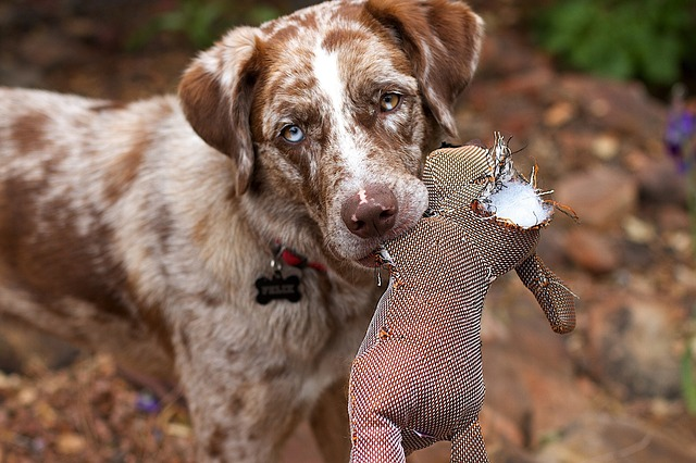 a brown dog with a torn dog toy in his mouth